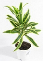 "Драцена «Лемон лайм» Dracaena ""Lemon Lame"""